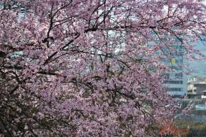 merak proljeće